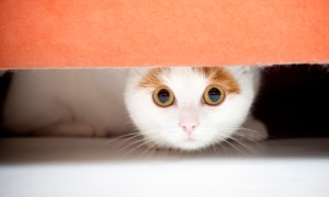 Cat Hiding Under The Bed