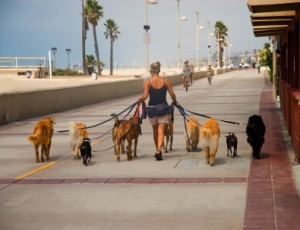 Dog Walker Walking Many Dogs