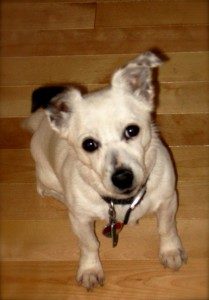 Snowball a Jack Russell