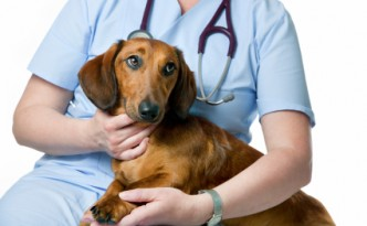 Dachshund looking concerned and on Lap of Someone in Scrubs